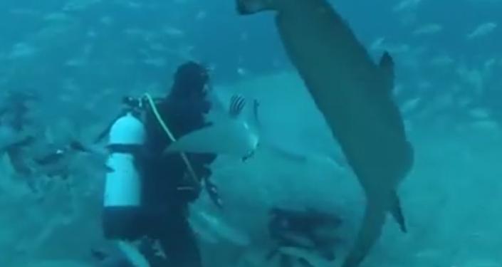 Un requin presque domestique
