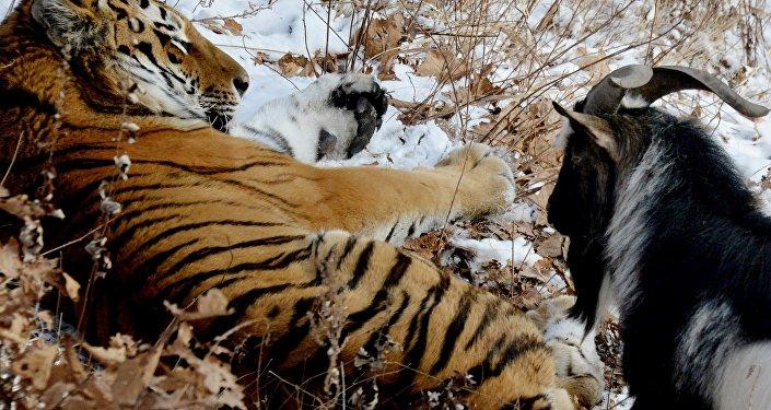 L'amitié surprenante d'un tigre et d'un bouc