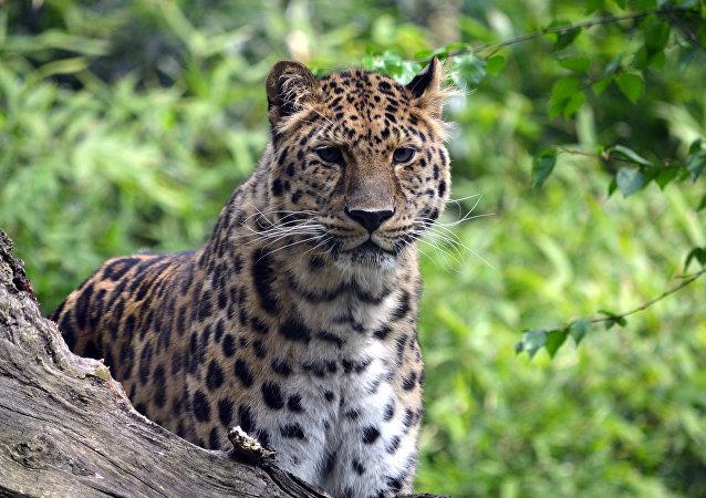 léopard d'Extrême-Orient