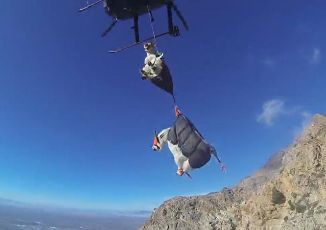Les chèvres voyagent en hélicoptère