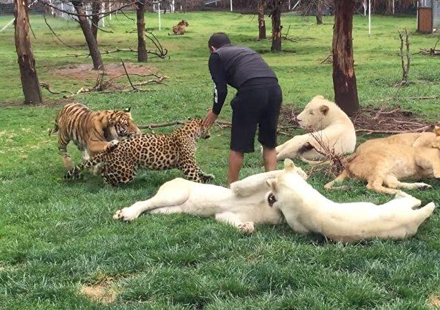 Un tigre protège un homme d'un léopard