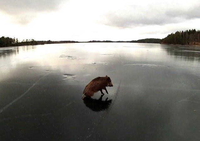 Le sanglier sauvage coincé au milieu d'un lac glacé