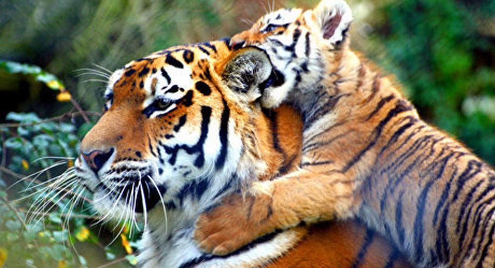 Le Forum axé sur la protection du tigre à Saint-Pétersbourg