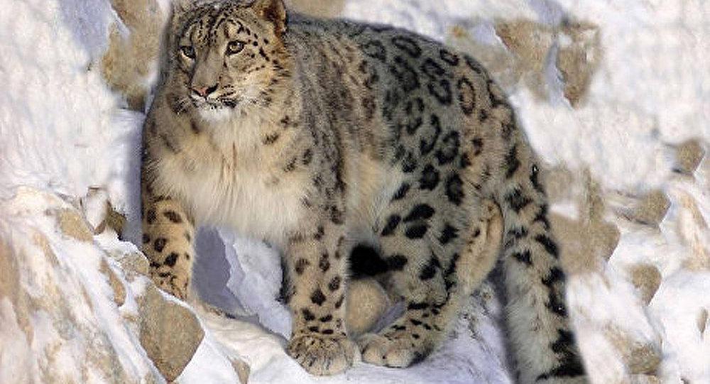 L'Altaï : le marathon pour sauver la panthère des neiges
