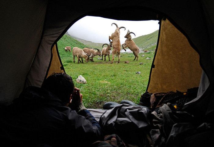 En 1986 dans la partie Nord du Caucase a été créée la réserve naturelle la plus haute de Russie, la réserve de haute-montagne Kabardino-Balkarski. Elle a été fondée pour préserver les paysages de montagnes du Caucase et ses habitants, les aurochs et les léopards. Nous vous proposons de partir en excursion dans les zones protégées, immortalisées par le photographe Igor Chpilenok