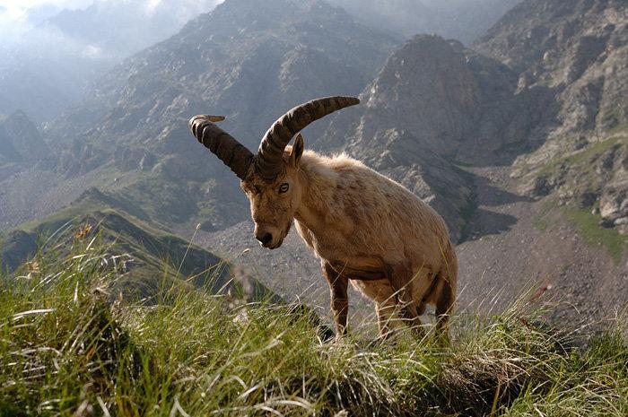 Les habitants typiques de la réserve sont les aurochs. Ils sont reconnaissables par leur robe, leur forme et leurs cornes. En photo : auroch mâle.