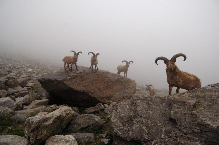 Grâce à leur sens de l'équilibre, à la prise de leur sabot, les aurochs sont d'excellents alpinistes. En photos : Auroch mâle.