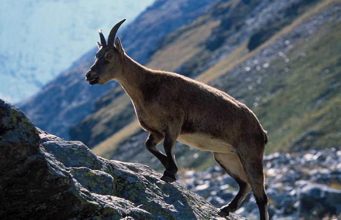 Le régime alimentaire des aurochs est très frugal. Ils se nourrissent de presque toutes les plantes d'altitude et l'hiver d'herbes sèches. En photo : femelle auroch.