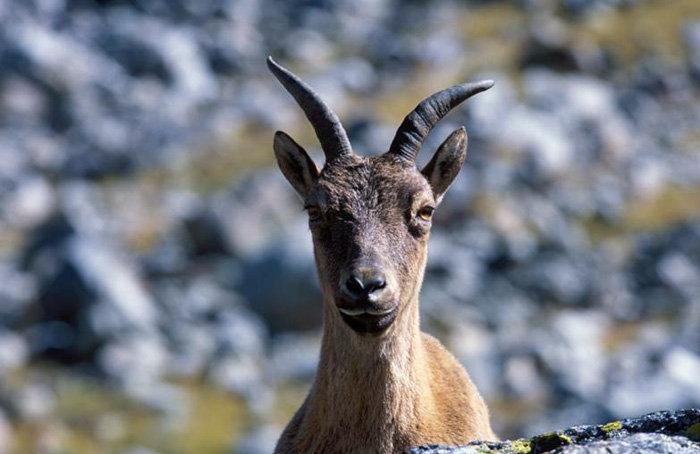 L'épaisse et chaude fourrure d'hiver permet aux aurochs de supporter le rude froid d'altitude. En hiver, la température à 2000 mètres d'altitude descend jusqu'à – 30 degrés et à 4000 mètres jusqu'à – 50 degrés.
