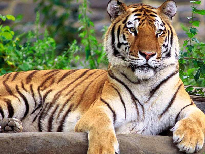 La réserve abrite de grands mammifères carnivores : les tigres de l'Amour, mais aussi des ours, des lynx, des gloutons, des loutres.