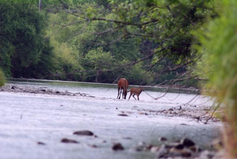 Le cerf de Sibérie (en photo) fait partie des mammifères à sabots qui peuplent le parc.