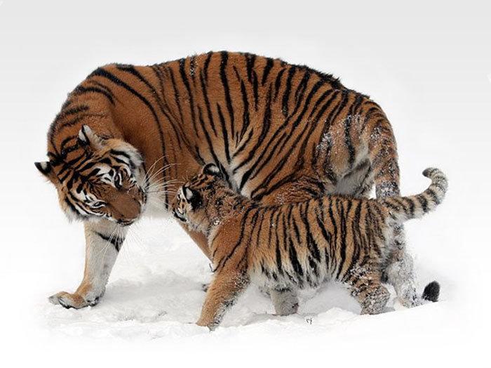 La réserve de Botchinski est l'habitat le plus septentrional des tigres de l'Amour.