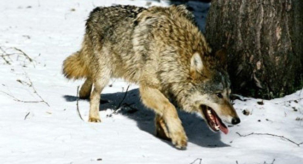 Les loups assiègent la ville russe de Verkhoïansk