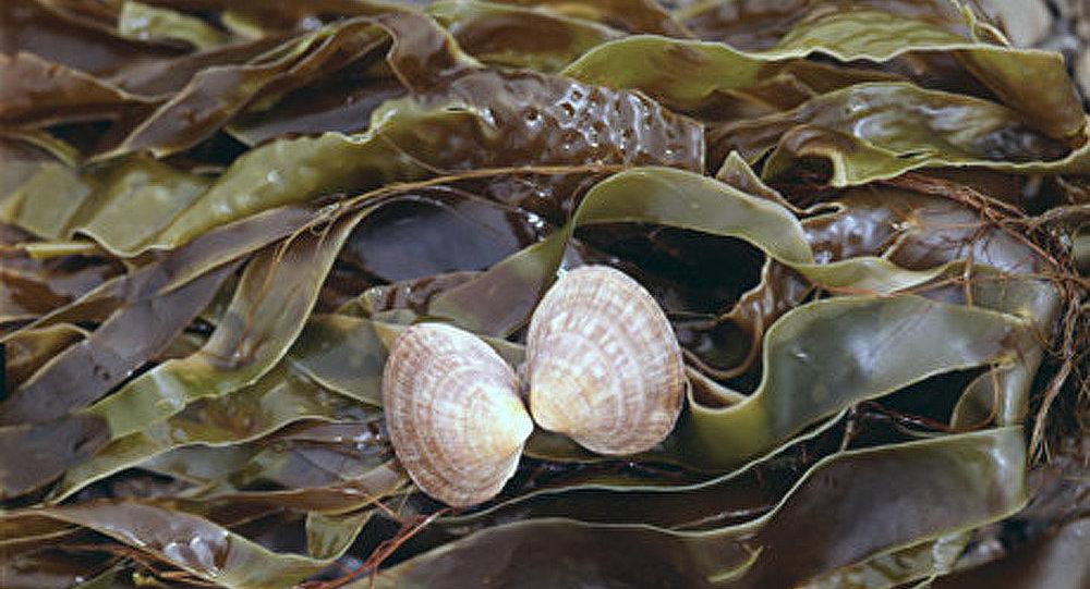 Un biocarburant sera fabriqué à partir des algues