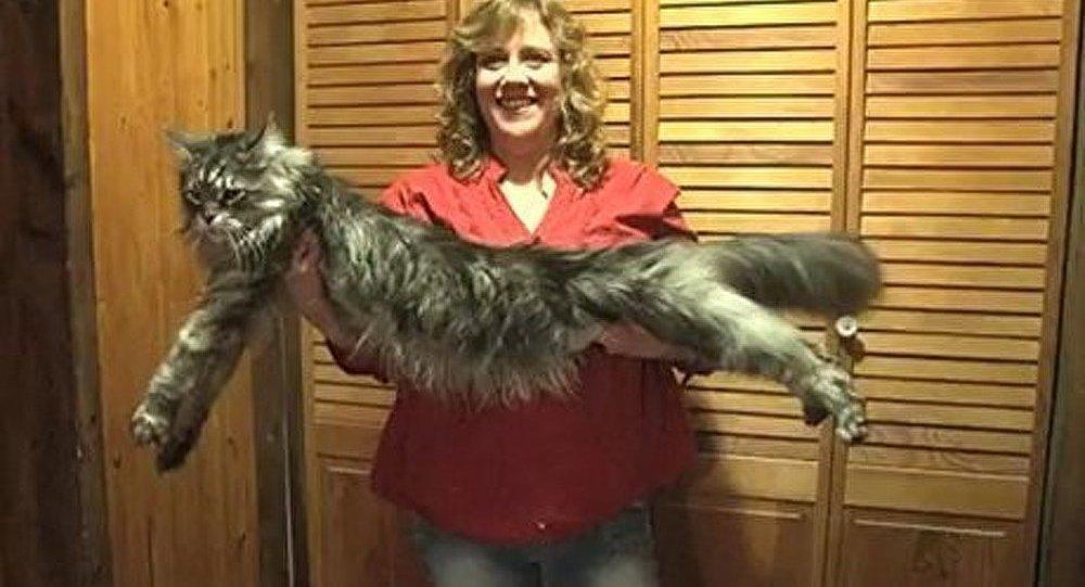 Le plus long chat du monde est mort aux Etats-Unis