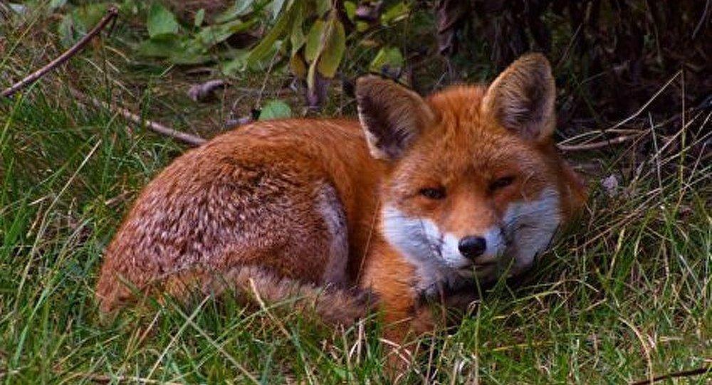 Un renard a mordu un nourrisson à Londres
