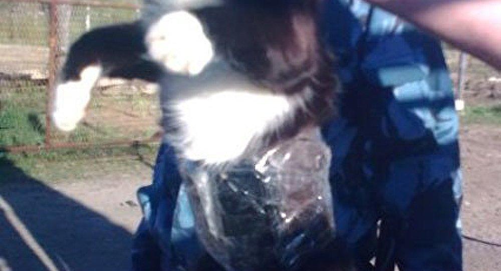 Un chat faisant de la contrebande de portables attrapé dans un camp russe
