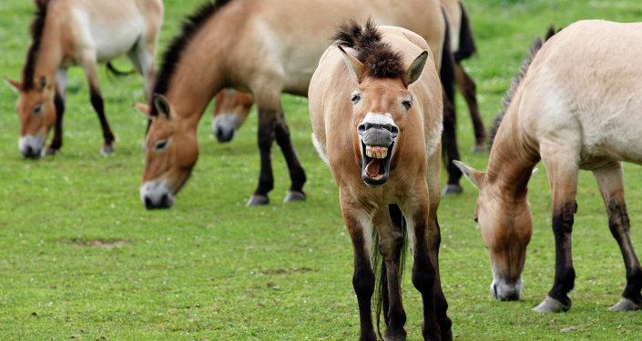 Le retour du cheval de Przewalski