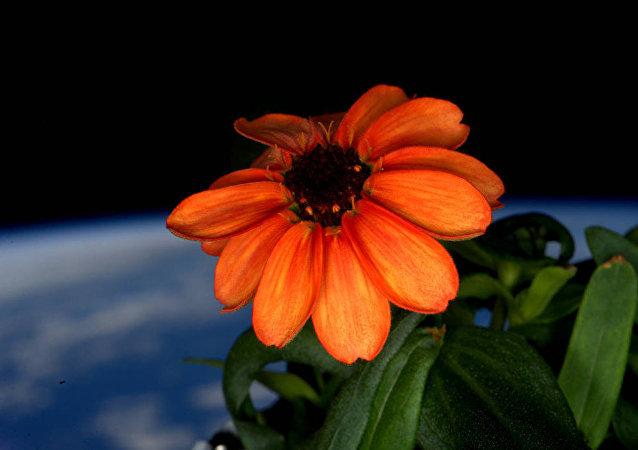 Цинния, выращенная на борту МКС