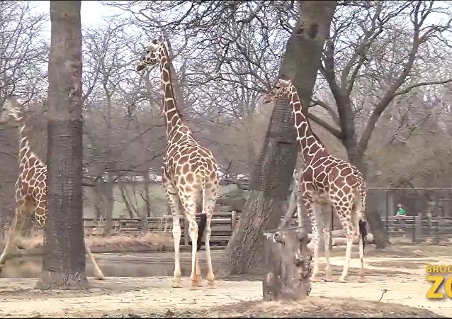 La danse du printemps d'une girafe