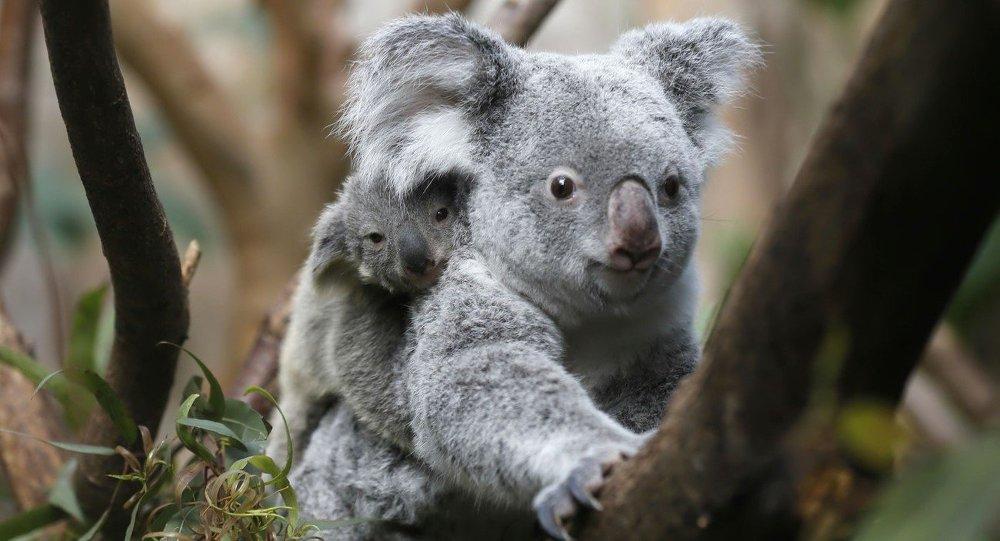 voitures ou koalas un choix difficile pour les australiens sputnik france. Black Bedroom Furniture Sets. Home Design Ideas