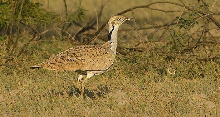 A la chasse au Pakistan, un prince saoudien tue 2.000 oiseaux menacés
