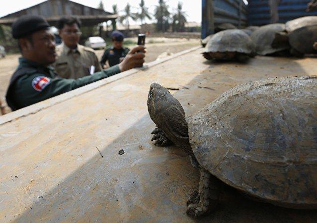 Tortues rares et pythons destinés au Vietnam sauvés au Cambodge