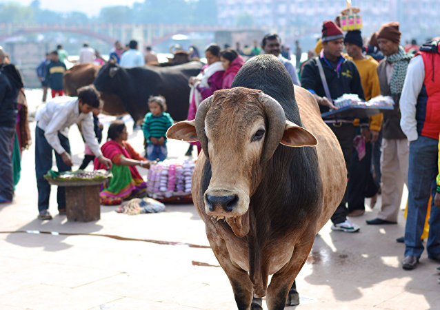 Une vache indienne