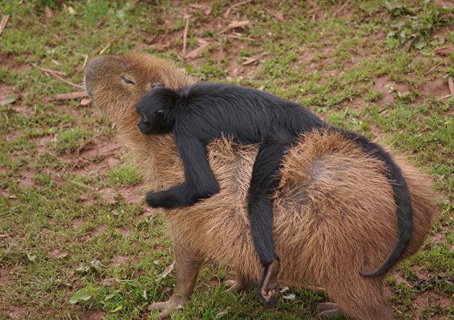 Le capybara et son compagnon