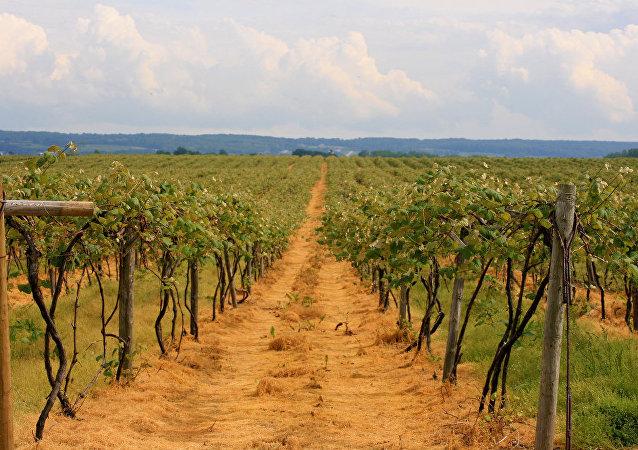 La viniculture