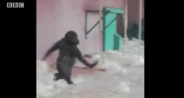 Un gorille futur danseur étoile de ballet