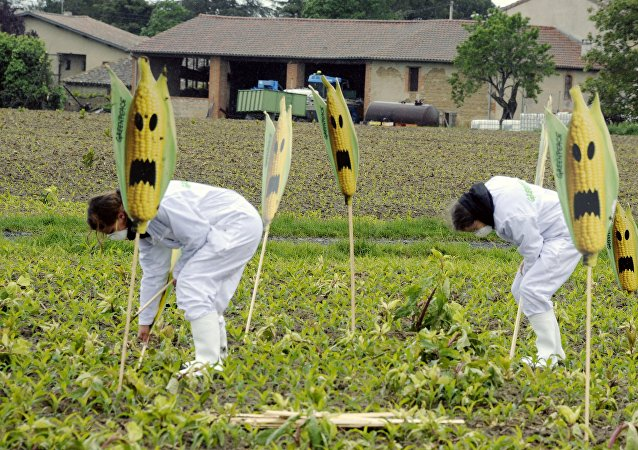 Des militants anti-OGM arrachent des plants de maïs transgénique, dans le département français de la Haute-Garonne. Archive photo
