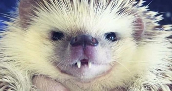 Huff, un hérisson aux dents de vampire, devient une star du Web