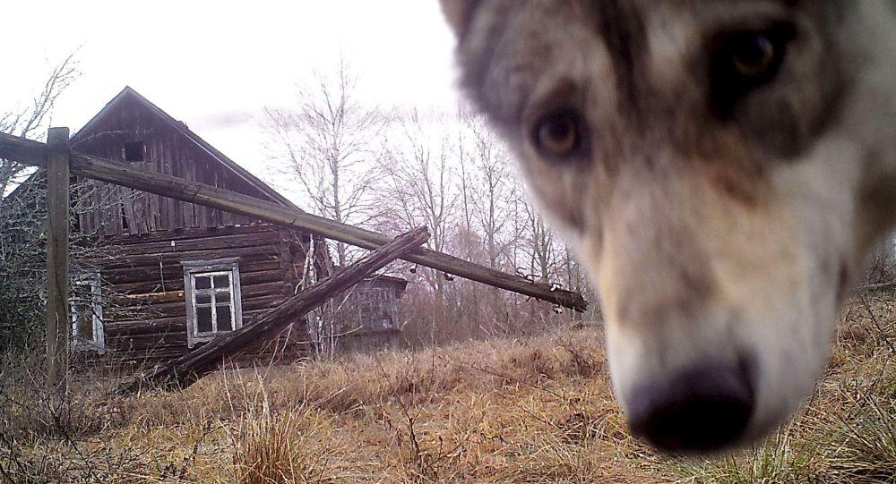 Волк у заброшенного дома в заброшенной деревне Оревичи