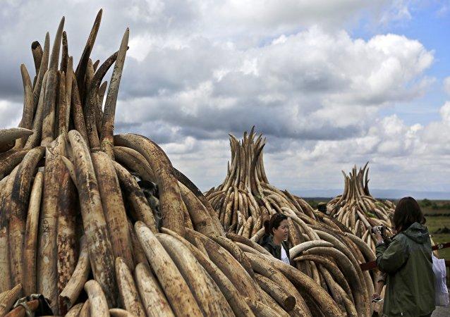 Au total, 16.000 défenses ont été amassées verticalement sur des structures pyramidales en métal dans le parc national de Nairobi.
