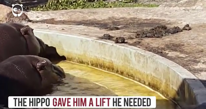 Un hippopotame qui vient en aide à un caneton