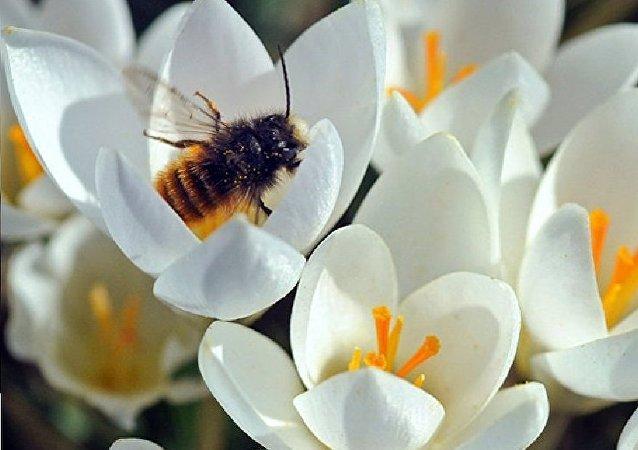 Une abeille récolte le pollen dans le parc de Dresde. Le soleil a offert aux Allemands quelques jours d'été en mars.