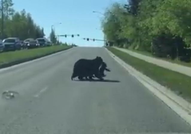 Une maman ours et ses petits traversent une route