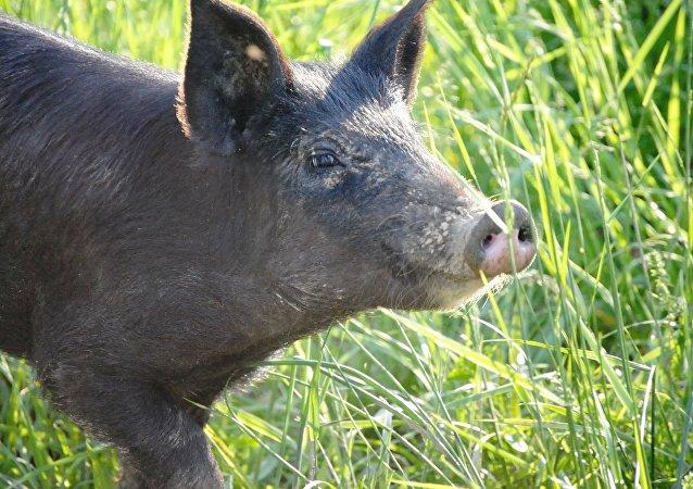 Un cochon noir