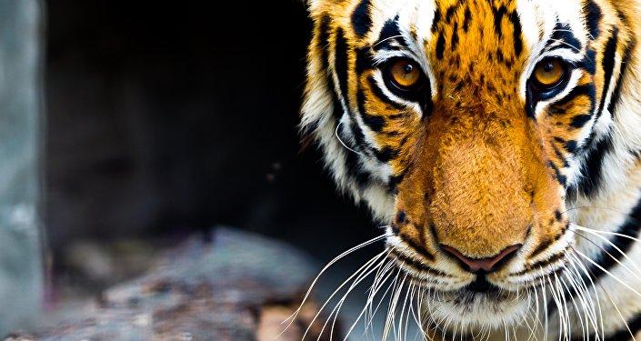 En Thaïlande, l'évacuation des félins du temple aux tigres a commencé