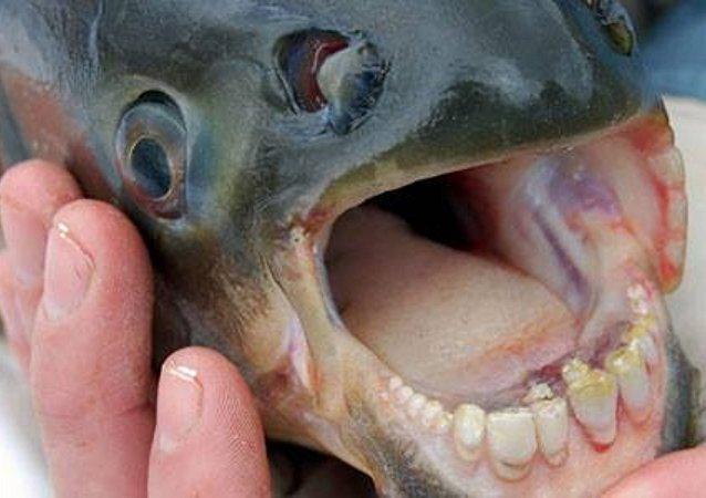 Un poisson pacu