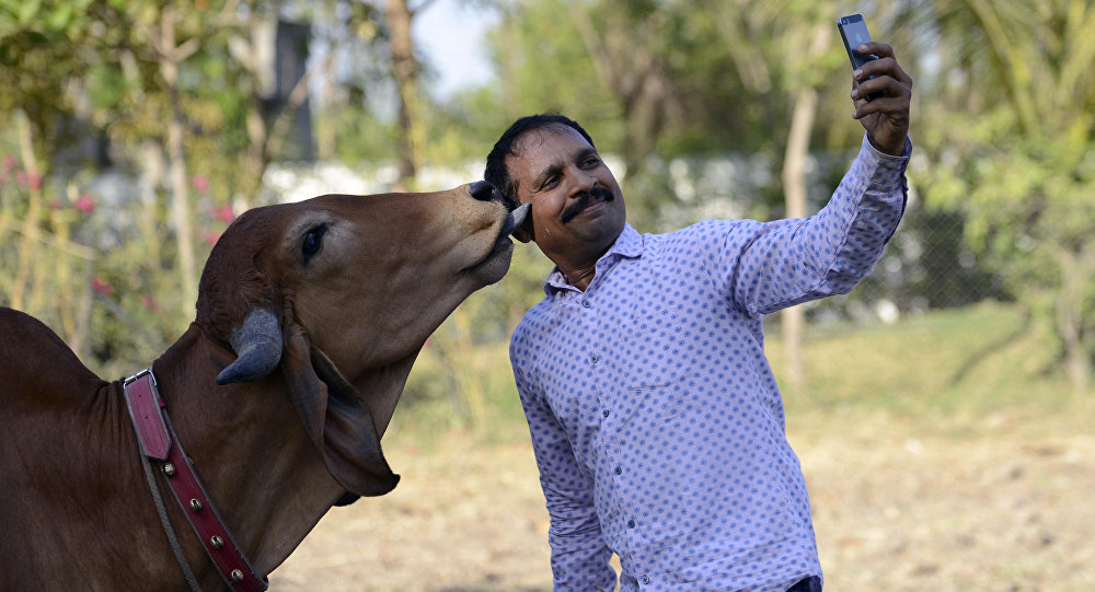Indian man Vijay Parsana (R), 44, takes a selfie photograph with his cow Poonam (L), 2, on the eve of her marriage in Ghuma village, some 20 km from Ahmedabad on March 23, 2016