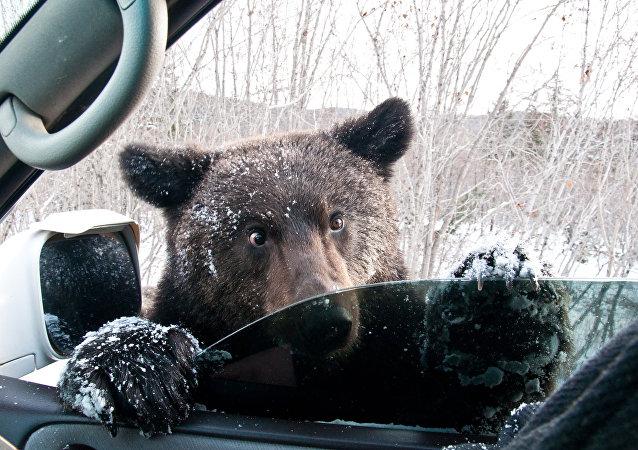 Des ours tentent de forcer une voiture, Twitter s'enflamme