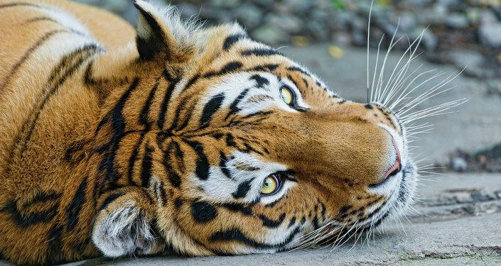 Un jeune tigre blessé par des braconniers opéré au Primorié