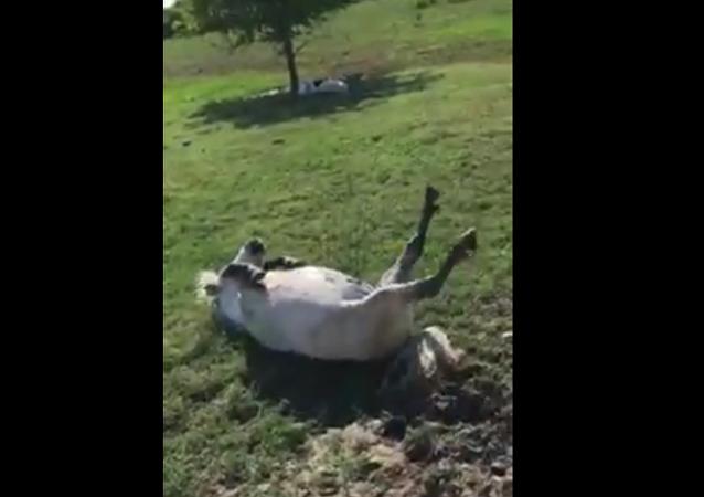 Un cheval fait le mort