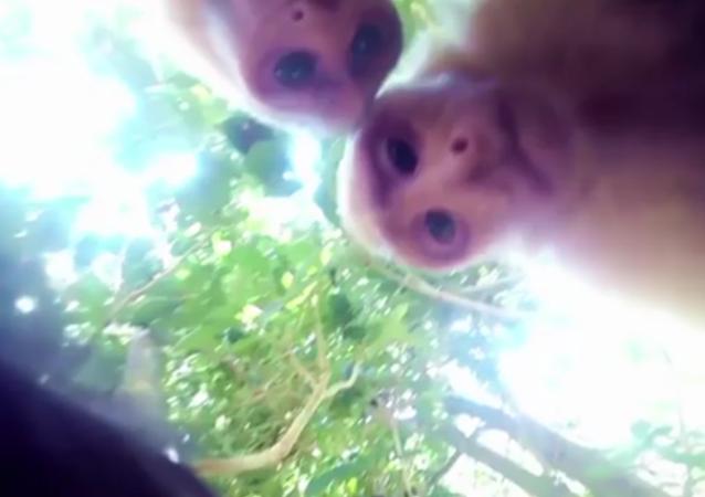 Un singe qui sait faire un selfie