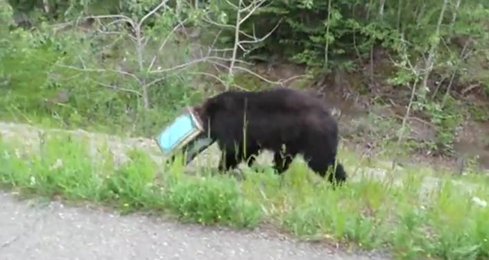 Un ours la tête coincée dans une boîte sauvé en Alaska