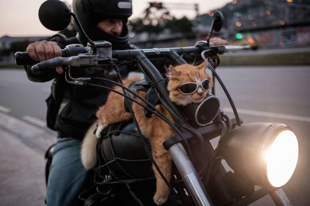 Le chat baptisé Chicuino, 12 ans, accompagne son maître malgré son âge avancé, à Rio-de-Janeiro