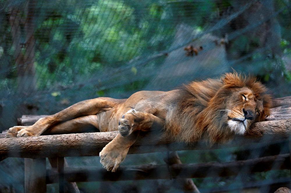 Un lion dans le zoo de Caracas, au Venezuela