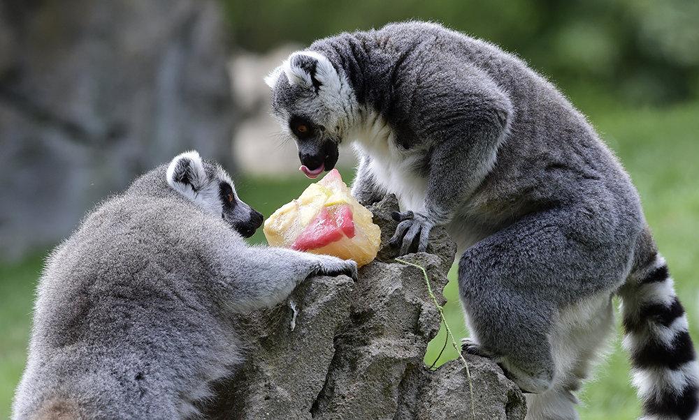 Des lémuriens dans le Bioparc de Valence, en Espagne